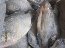 Frozen Tilapia (WR,GS,Fillet)