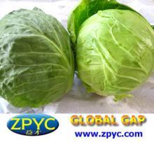 Chinese fresh cabbage