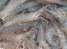 Frozen   PD   white  vannamei  shrimp