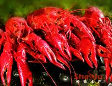 Frozen cooked whole crayfish in dill brine (Swedish flavor ...