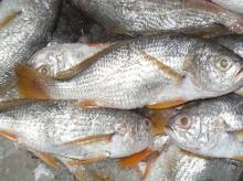 Fish Drum Nata