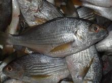 Fish Grunt Roncador