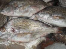 Fish Brassy Grunt Teniente