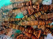 tiger prawns