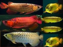 Red Arowana Fish,Golden Silver Arowana Fish,Super Red Arowana Fish