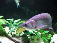 CHILI RED AROWANA FISH AND OTHER AROWANAS FOR SALES