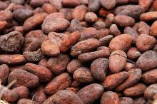 Dried Cocoa beans seed