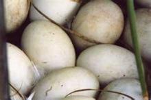 Fresh and Fertile Duck Eggs Readily Available