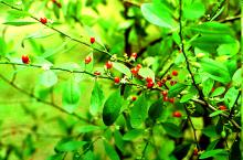Erythroxylum coca seeds for sale