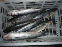 Big size frozen Roe off Grey mullet and mugil cephalus