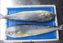 Sell mahi mahi / fillets