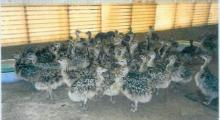 Ostrich chicks and Ostrich eggs