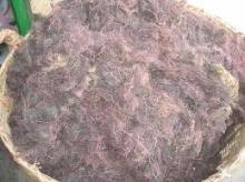 Sell Gracilaria Seaweed for agar agar