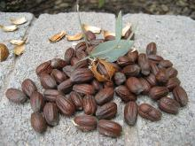 ORGANIC JOJOBA SEED FOR SALE