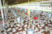 Day old poultry chicken for sale