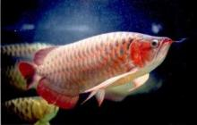 Red Arowana Fishes ready for sale!!!