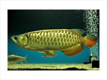 24k Golden Arowana Fishes of all breed and colour ready for sale!!!!