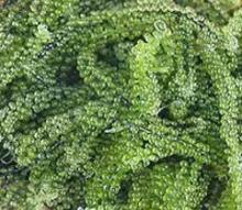 sea grape seaweed
