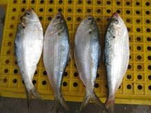 First grade fresh frozen fish available in stock