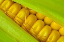 Fresh and frozen yellow Corn