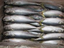 Frozen pacific mackerel ( scomber japonicus )