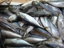 Frozen horse mackerel ( trachurus japonicus )