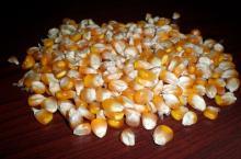 Copy of Non GMo Yellow Maize