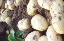 potato fresh China 2013