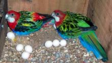 parrot and egg