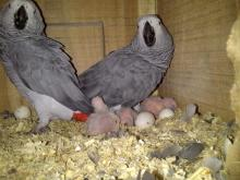 exotic parrot fertile eggs ready to hatch
