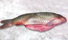 Frozen Carp fish, Cyporinus Carpio
