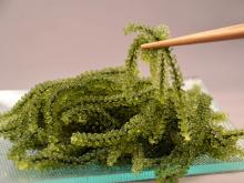 Sea Grapes (Seaweed) products,Malaysia Sea Grapes (Seaweed) supplier220 x 165 jpeg 8kB