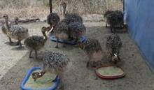 ostrich chicks and birds for ready for shipment