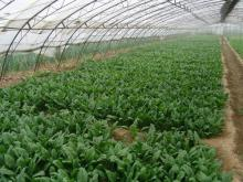 IQF Spinach cut