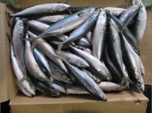 Pacific mackerel whole round