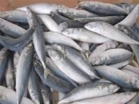 Fresh process sardine fish