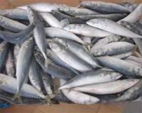 mackerel fish for sale