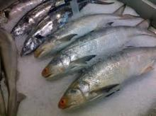 Frozen fish (300-500 mackerel)