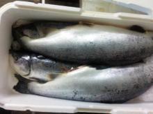 Fresh Salmon Salmo Salar