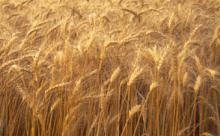 wheat winter for sale