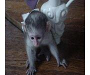 playful baby capuchin monkeys