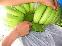 fresh green banana fro sale