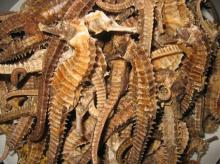 High grade dried seahorse for sale