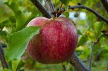 Champion Apples