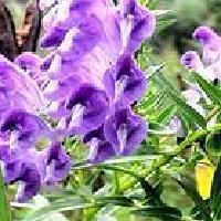 Scutellaria Root Extract (Baicalin)