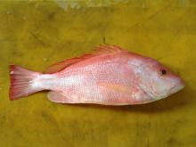 Red Snapper (Malabar Blood Snapper)