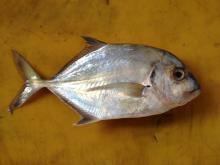 Malabar Trevally Fish