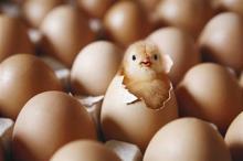 Duck fertilized eggs for sale