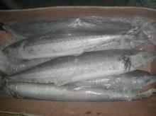 Frozen Kingfish