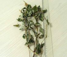 Houttuynia  Herb